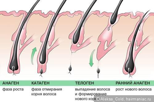 Как называется фаза активного роста волос
